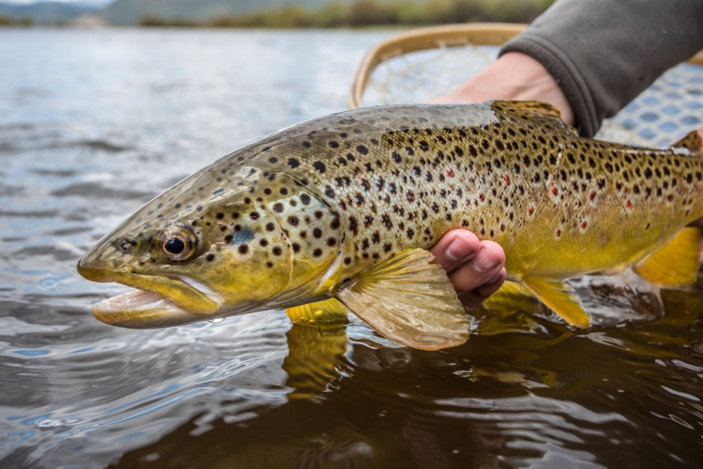 Big Hole River Brown Trout